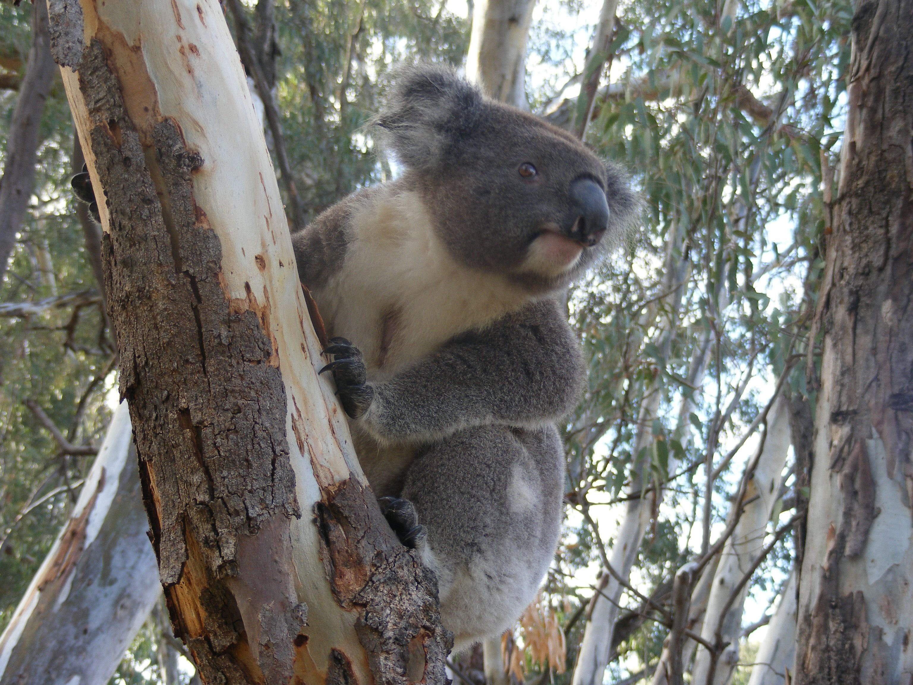 Annual Koala Count - Accommodation Resorts